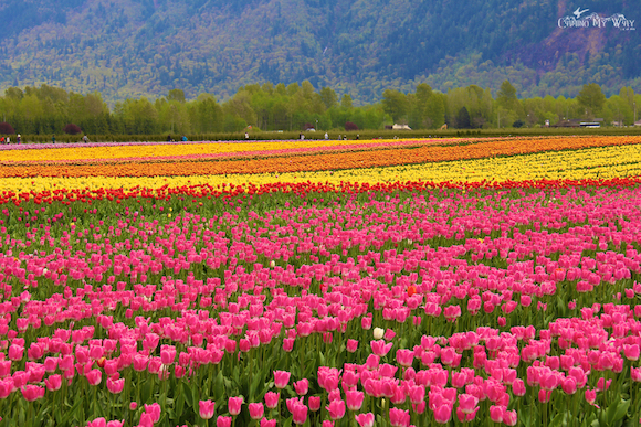 Pink tulips rainbow fields Valley