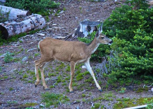 Cathedral Lakes Lodge deer