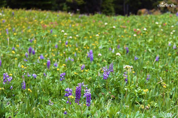 meadows lupines paintbrush diamond trail cathedral park