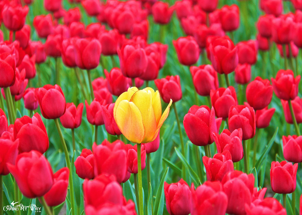 Love this yellow / orange tulip above the sea of red.