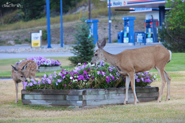 Mama deer fawn Radium Hot Springs kootenay