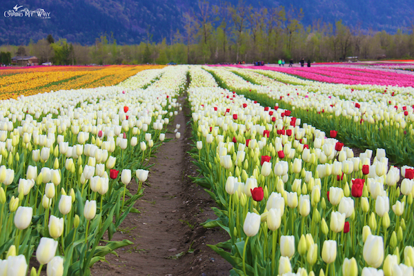 Tulips Fraser valley rows white red