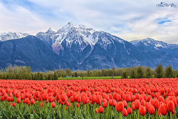 Tulips of the valley Mount cheam