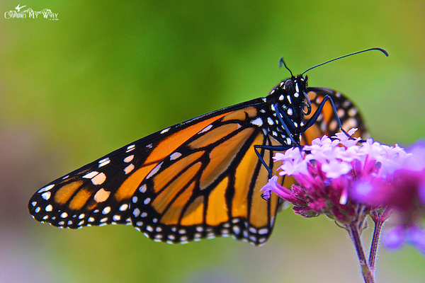monarch-butterfly-flower-krause-langley